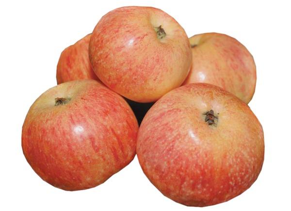 бесплатно, яблоня шафран саратовский описание фото кулинарном форуме